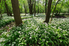 Field of Bear garlic in a bloom. Bear garlic in a bloom in a forrest of Zbytka natural reservation Stock Photo