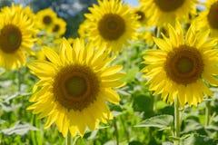 Field of beautiful backlit sunflowers Stock Photos