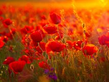 Beautiful blooming poppies in the summer sunset light Stock Photography