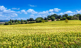 Field of beautiful blooming sunflowers. Rural landscapes of Tuscany. Field of beautiful blooming sunflowers. Rural landscapes of Tuscany, Italy royalty free stock photography