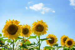 Field of Beautiful Bright Sunflowers Against the Blue Sky Royalty Free Stock Photos