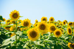 Field of Beautiful Bright Sunflowers Against the Blue Sky Royalty Free Stock Images