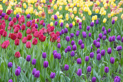 Field of beautiful bright tulips Stock Images