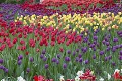 Field of beautiful bright tulips Royalty Free Stock Photos