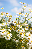 Field of beautiful camomiles Royalty Free Stock Photography