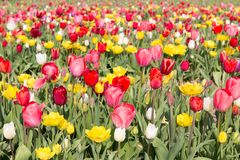 Field of beautiful colorful tulips in the Netherlands Royalty Free Stock Photo