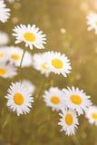 Field of beautiful daisy flowers Stock Photo
