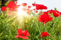 Field with a beautiful decorative red poppy flowers Royalty Free Stock Image