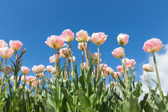 Field of beautiful Dutch tulips with a clear blue sky Royalty Free Stock Image