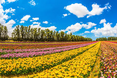 Field of beautiful flowers Stock Photo