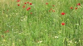 Field of beautiful flowers. In spring season, Morocco stock video footage