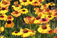 Field beautiful Gaillardia flowers Stock Image