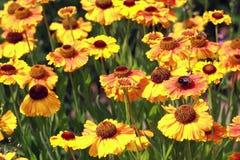 Field beautiful Gaillardia flowers Stock Image