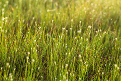 A field of beautiful green sedge grass in morning light. Marsh landscape on Northern Europe. Stock Photography