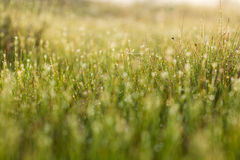 A field of beautiful green sedge grass in morning light. Marsh landscape on Northern Europe. Royalty Free Stock Photo