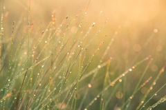 A field of beautiful green sedge grass in morning light. Marsh landscape on Northern Europe. Royalty Free Stock Images