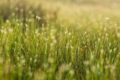 A field of beautiful green sedge grass in morning light. Marsh landscape on Northern Europe. Stock Image