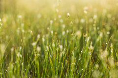 A field of beautiful green sedge grass in morning light. Marsh landscape on Northern Europe. Royalty Free Stock Photos