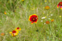 Field with beautiful Indian blanket flowers at summer season Royalty Free Stock Photos