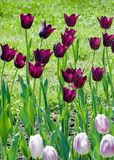 Field of  purple tulips. Field of beautiful pink and purple tulips Royalty Free Stock Photos
