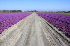 Field with beautiful purple flowers in Holland Stock Photo