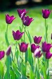 Field of  purple tulips. Field of beautiful purple tulips Stock Photography