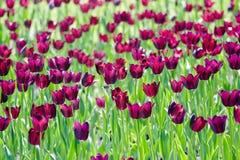 Field of  purple tulips. Field of beautiful purple tulips Royalty Free Stock Image