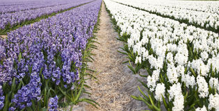 Field of beautiful purple and white hyacinths Royalty Free Stock Photography