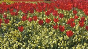 A field of beautiful red flowers. London. England. United Kingdom. Gardens and parks of the city stock footage
