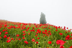 Field with a beautiful red poppies. On the hill Stock Photography
