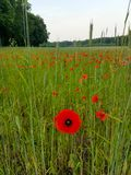 Field of beautiful red poppies royalty free stock photography