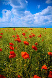 Field with beautiful red poppy flowers. Fantastic landscape: beautiful field with numerous poppies Royalty Free Stock Images