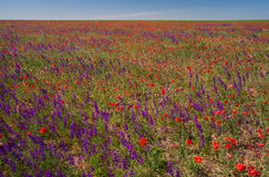 Field with beautiful red poppy and purple flowers Royalty Free Stock Images