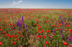 Field with beautiful red poppy and purple flowers Royalty Free Stock Photos