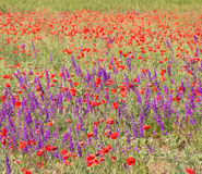 Field with beautiful red poppy and purple flowers Royalty Free Stock Image