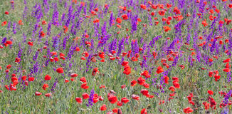 Field with beautiful red poppy and purple flowers Stock Image