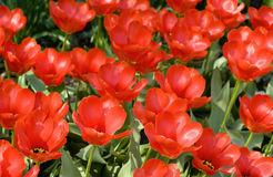 Field of beautiful red tulips Royalty Free Stock Photo