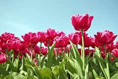 Field of beautiful red tulips Stock Photos