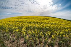Field of beautiful springtime golden flower of rapeseed with blue sky, canola colza in Latin Brassica napus with rural road and royalty free stock image