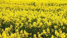 Field of beautiful springtime golden flower of rapeseed closeup on blurred background, canola colza in Latin Brassica napus in win. Dy weather,  rapeseed is stock footage
