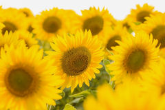 Field of beautiful sunflower Stock Photos