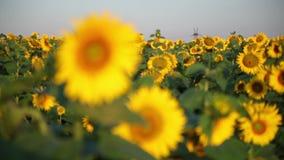 Field of Beautiful Sunflowers stock video