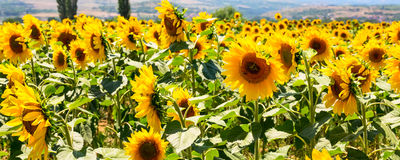 Field of beautiful sunflowers, landscape Stock Photography