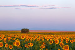 A field of beautiful sunflowers in the morning sunrise. Morning sunrise on a Colorado Sunflower field with the front range in the distance Royalty Free Stock Photos