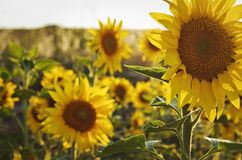 Field of beautiful sunflowers Stock Photos