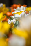 Field of beautiful tulips Stock Photos