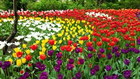 Field of beautiful tulips of different varieties and different vibrant colors blooming in spring garden. Flower bed stock video footage