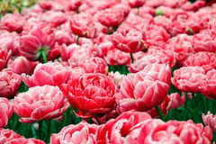 Field of beautiful tulips Royalty Free Stock Photography