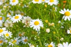 Field of beautiful white daisy Stock Photography