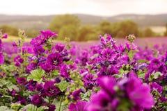 Field of beautiful wild purple mallow Stock Photos